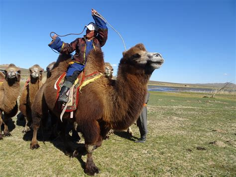 mongolian camels magical adventure bactrian
