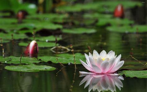 Lotus Flower Water Desktop Wallpaper Backgrounds Free