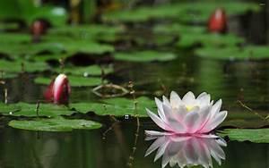 lotus, flower, water, desktop, wallpaper, backgrounds, free, download, 1800x2880, , , wallpapers13, com
