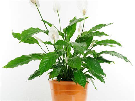 le pour plante interieur les 7 meilleures plantes d int 233 rieur pour la sant 233