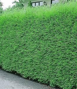 Leyland Zypresse Kaufen : schnellwachsende hecke sichtschutz leyland zypressen hecke garten pinterest ~ Frokenaadalensverden.com Haus und Dekorationen