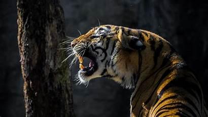 Tiger Roar Animal Wallpapers Wild 4k Background