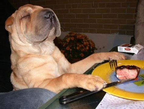 dog eating at table irti funny picture 710 tags smug dog eating dinner table