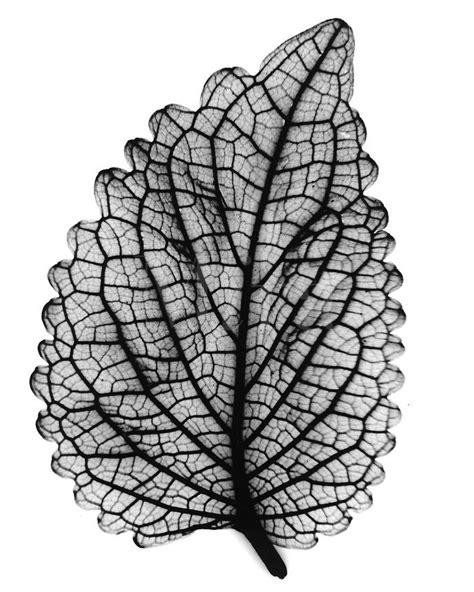 xray coleus leaf natural structures shapes