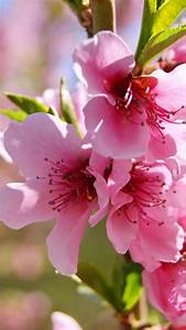 Spring Flowers HD Wallpapers For Android