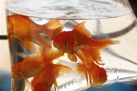 fische ins aquarium einsetzen fische im aquarium halten hornbach