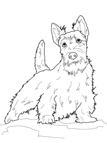 scottish terrier coloring page supercoloringcom