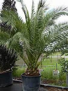 Kanarische Dattelpalme Kaufen : phoenix canariensis kanarische dattelpalme g nstig ~ Lizthompson.info Haus und Dekorationen