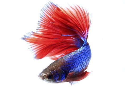 betta fish span lifespan of betta fish