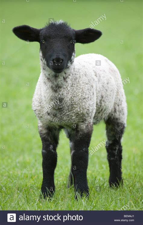 black faced lamb stock photo  alamy