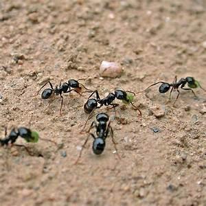 Ameisen Im Rasen Wirksam Bekämpfen : gegen ameisen ~ Whattoseeinmadrid.com Haus und Dekorationen