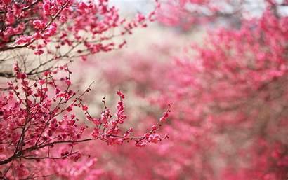 Cherry Blossoms Sakura Wallpapers Pink Nature Blossom