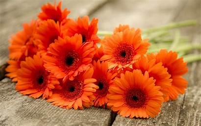 Daisy Gerbera Gerber Daisies Orange Desktop Flower