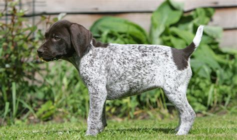 didnt    german shorthaired