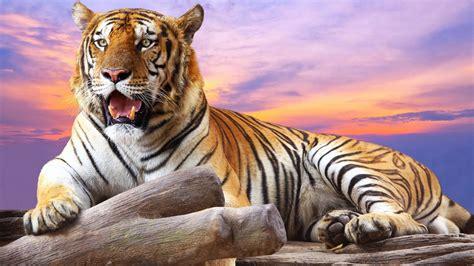 1920x1080 Tiger Wallpaper Full Hd (65+ Images