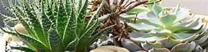 Sukkulenten Arten Bilder : sukkulenten fleischiges aus der pflanzentheke dehner ~ Lizthompson.info Haus und Dekorationen