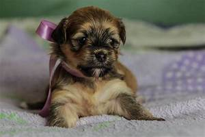 "Brindle & Sable Havanese Puppy ""Princess"" NO LONGER ..."