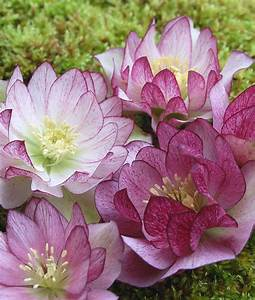 329 best Helleborus images on Pinterest | Backyard ideas ...
