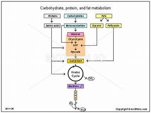 Carbohydrate Protein And Fat Metabolism Illustrations