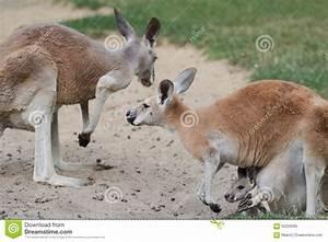 Red Kangaroo Or Macropus Rufus Family With Joey Stock ...
