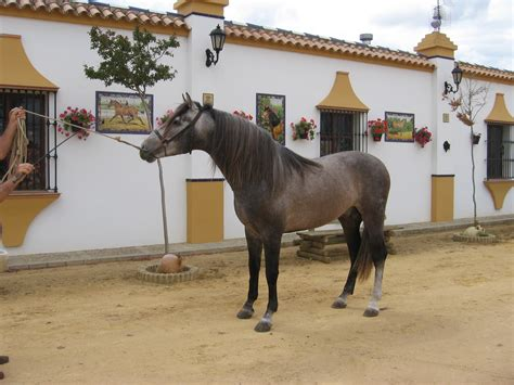 andalusian horses horse sevilla experience dancing riding