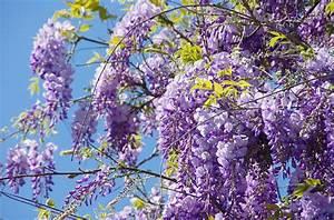 Rankpflanzen Winterhart Immergrün : glycine majestueuse et volubile grimpante ~ A.2002-acura-tl-radio.info Haus und Dekorationen