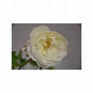 Rosier Grimpant Blanc : vente de rosier grimpant blanc snow princess ~ Premium-room.com Idées de Décoration
