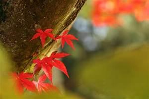 Ahorn Rote Blätter : ahorn rote bl tter ahorn acer rote bl tter japan asien runterladen rote bl tter ahorn herbst ~ Eleganceandgraceweddings.com Haus und Dekorationen