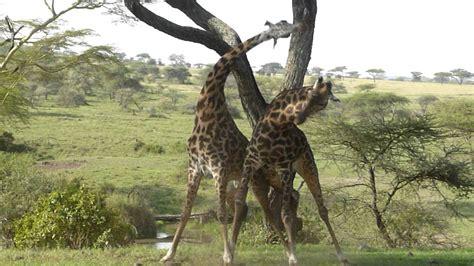 Giraffe Fight - YouTube
