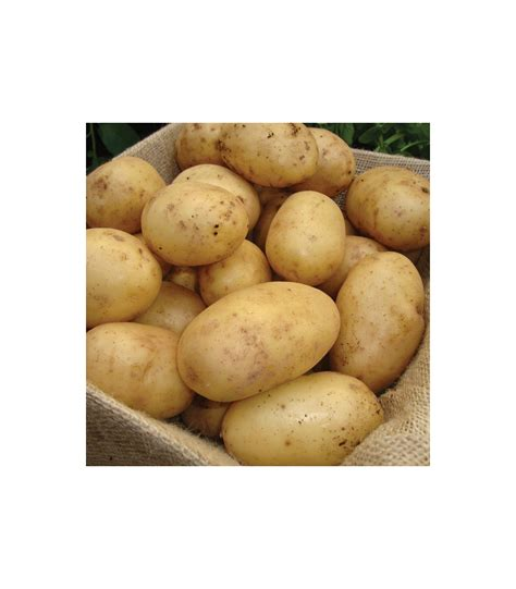 what are seed potatoes buy nadine seed potatoes direct