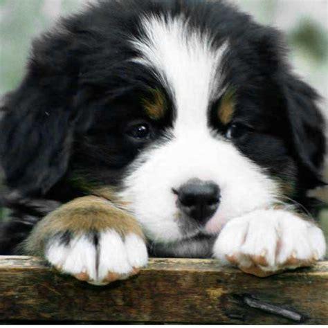 Cute Bernese Mountain Dog Puppies Fallinpets