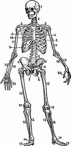 Antique Drawing Of A Skeletal Chart  This Would Be Cool