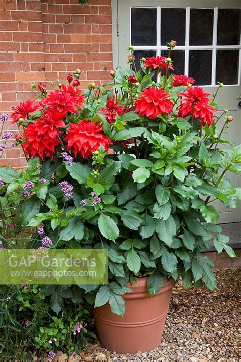 plant dahlias in pots gap gardens dahlia babylon in large pot by front door pine house image no 0296781
