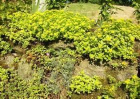 Pflanzen Für Trockenmauer : mauerpflanzen trockenmauern und ihre bepflanzung stauden mauerpflanzen polsterstauden f r ~ Orissabook.com Haus und Dekorationen