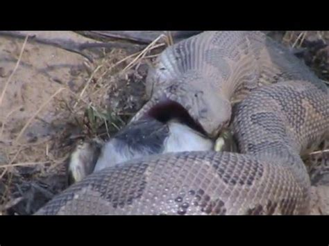 python eats time lapse speed x6