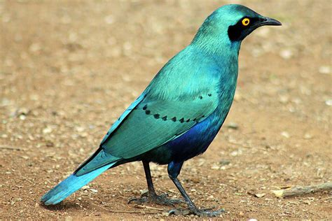 colorful bathroom ideas greater blue eared starling lrotornis chalybaeus
