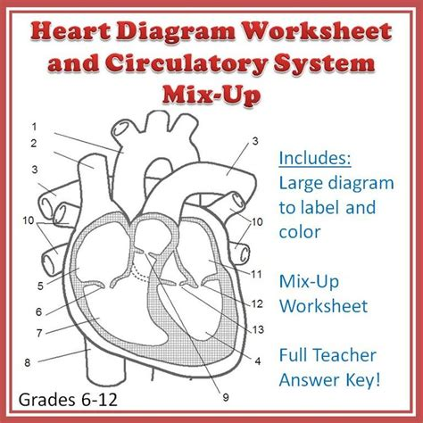Cardiovascular System Mixup And Heart Diagram Worksheet