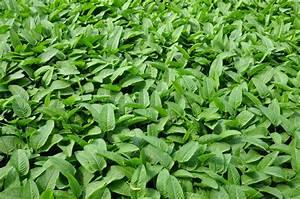 Kletterpflanzen Immergrün Winterhart : ist der kn terich immergr n eigenschaften und sortentipps ~ Michelbontemps.com Haus und Dekorationen