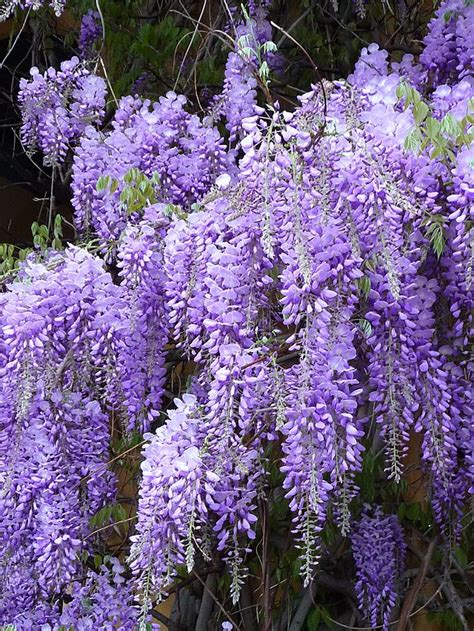 small wisteria weeping plants drama in the landscape just fruits and exotics