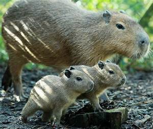 Belfast Zoo Welcomes Baby Capybaras | Baby Zoo Animals