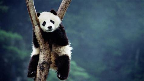 Endangered Animals Wallpapers - endangered species pandas cyber srbin