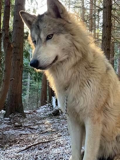 Wolf Encounter Heart Washington Predators Once Sanctuary