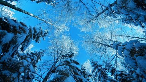 wallpaper winter   wallpaper forest fir tree snow