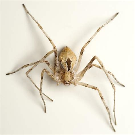 light brown spider small legged light brown crab spider with
