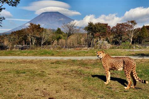 fuji safari park pop japan