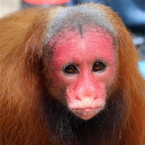 Ugliest monkey in the world Uakari