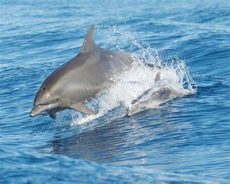 common bottlenose dolphin facts diet habitat