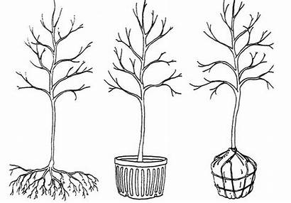 Root Ball Tree Trees Container Grown Type