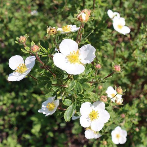 Buy shrubby cinquefoil Potentilla fruticosa Abbotswood: £ ...