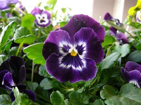 Puķes puķe - violets
